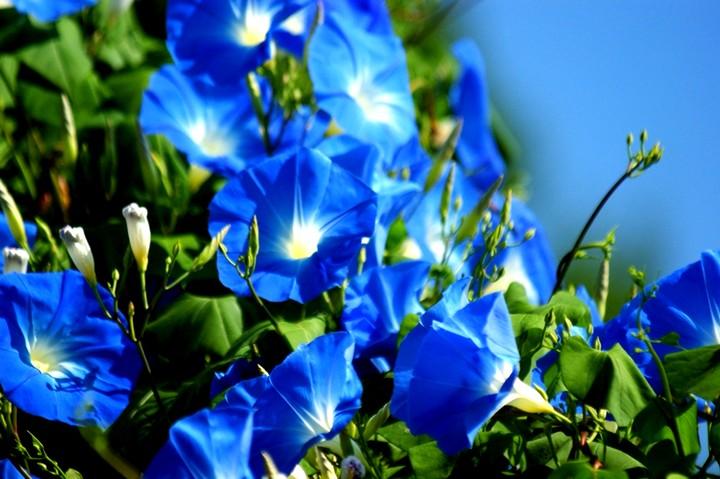 ипомея синяя