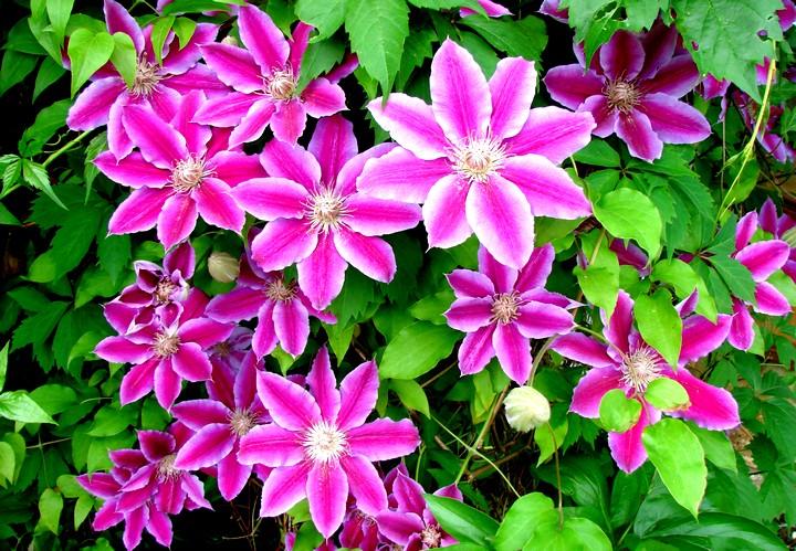 клематис цветы
