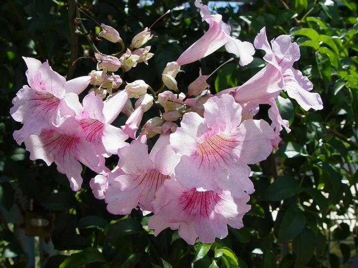 кобея розовая