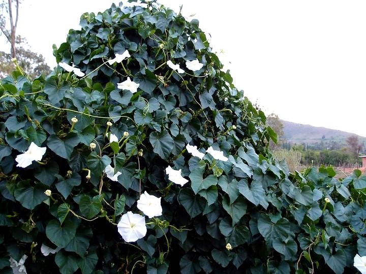 кобея цветы (2)