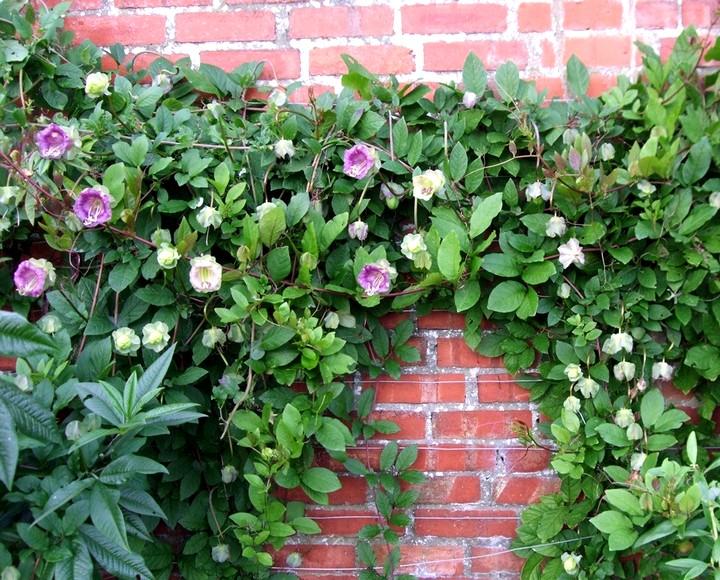 кабеля цветок выращивание фото