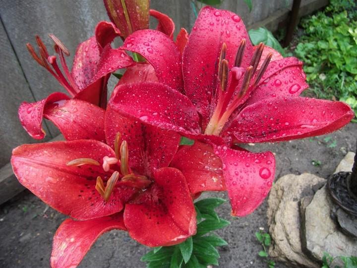 лилия красная