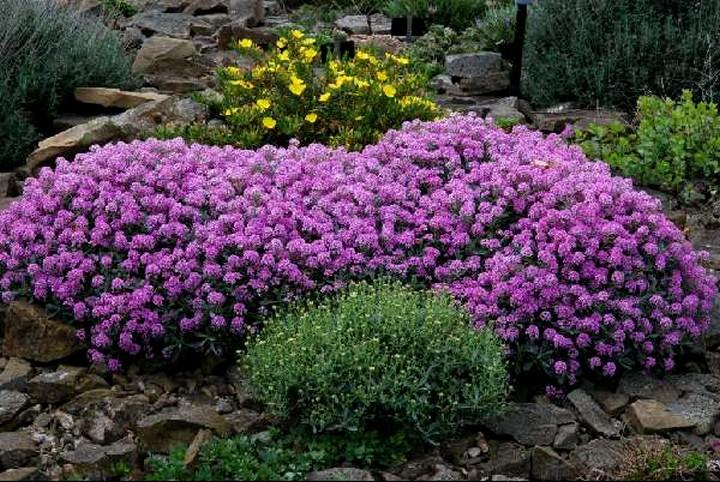 Цветы алиссум посадка и уход