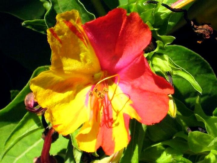 мирабилис цветы (3)