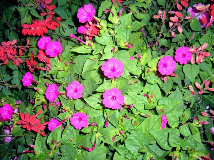 мирабилис цветы (5)