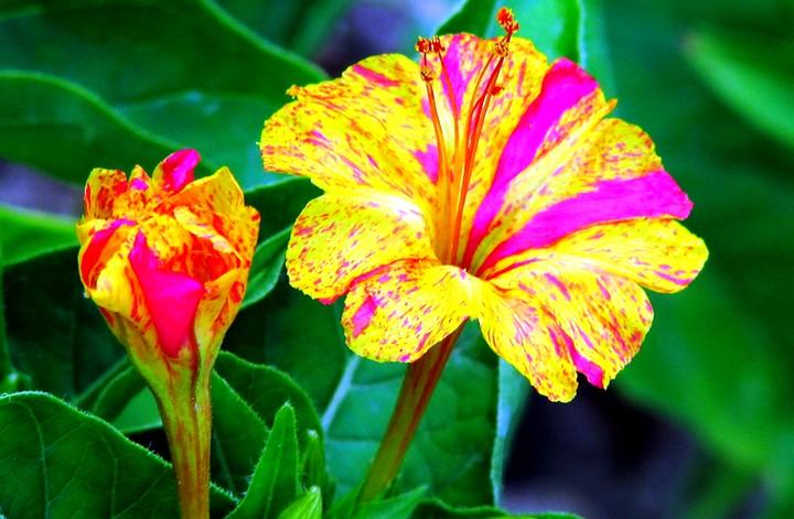 мирабилис цветы (6)