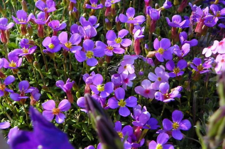 обриета цветы (2)