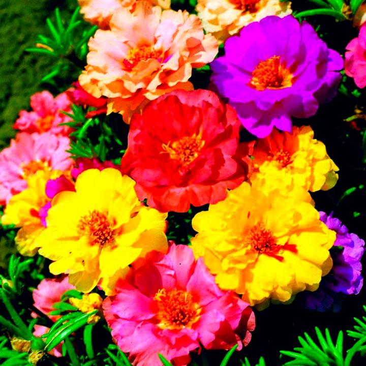 портулак цветы (2)