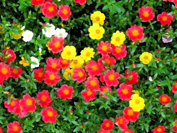 портулак цветы (4)