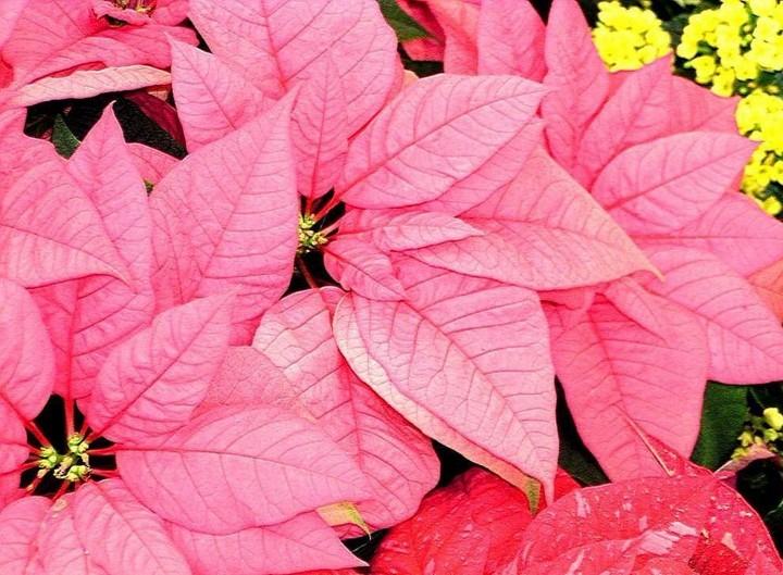 пуансетия розовая 2