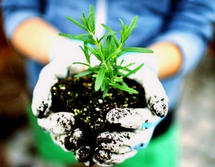 розмарин выращивание 2