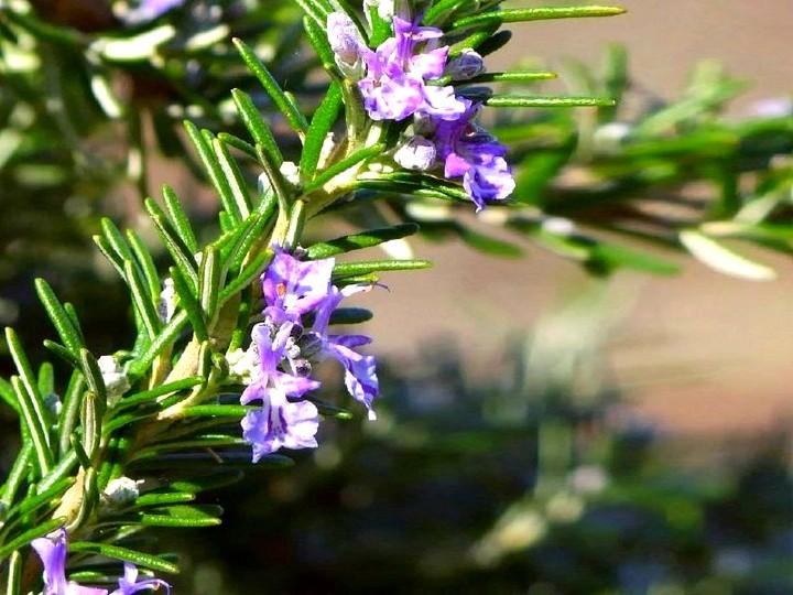 розмарин цветы (2)