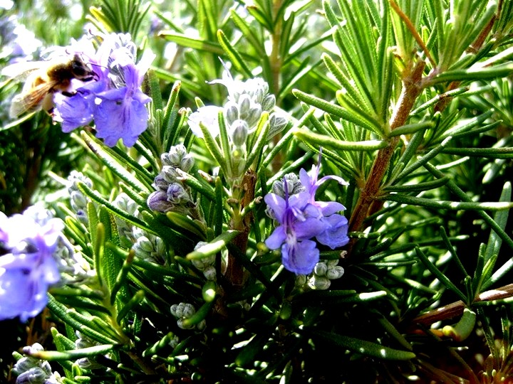 розмарин цветы (4)