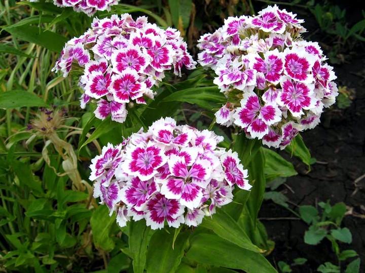 Гвоздика двулетняя выращивание из семян 88