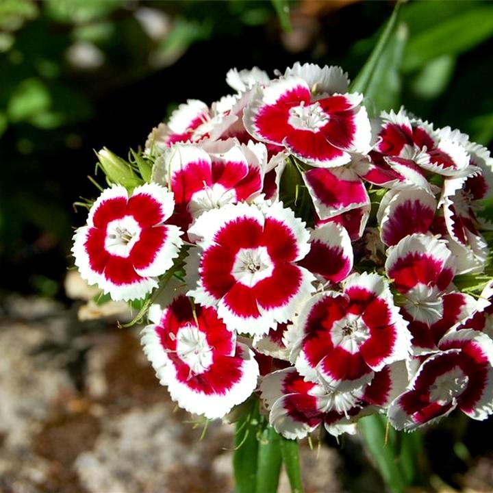 турецкая гвоздика выращивание4