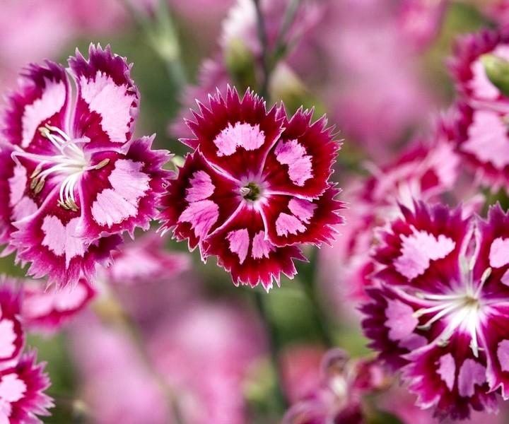 турецкая гвоздика цветы