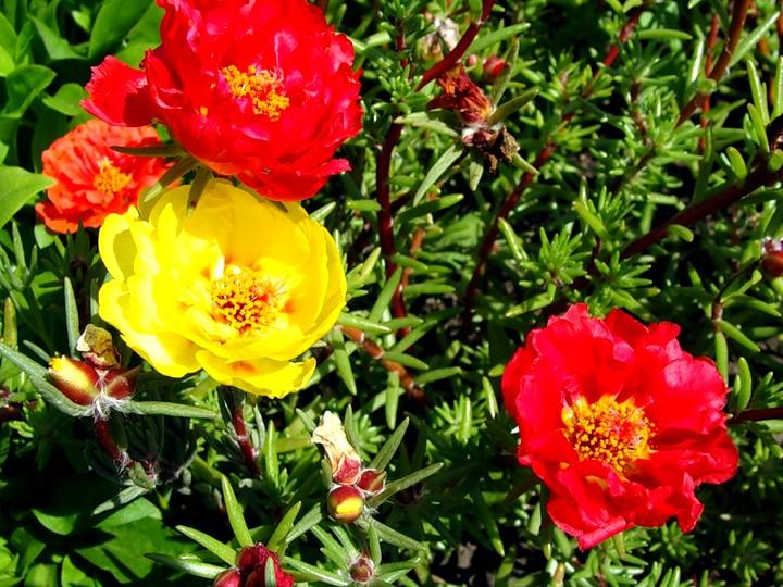 цветение портулака