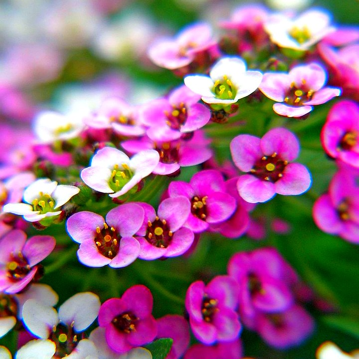 цветки аллисума