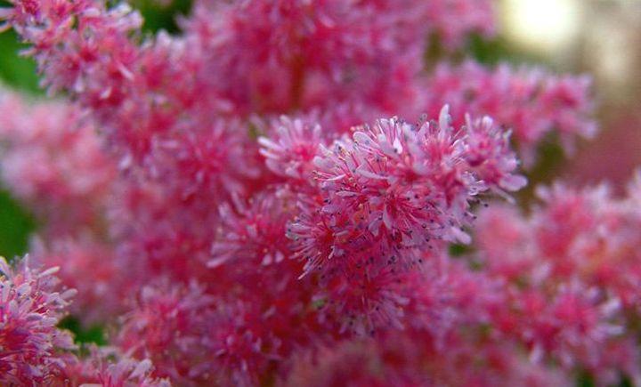 Пышно цветущая астильба