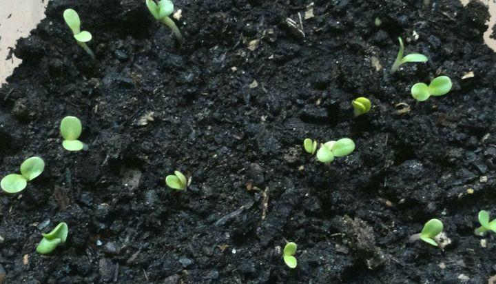 Размножение посевом семян