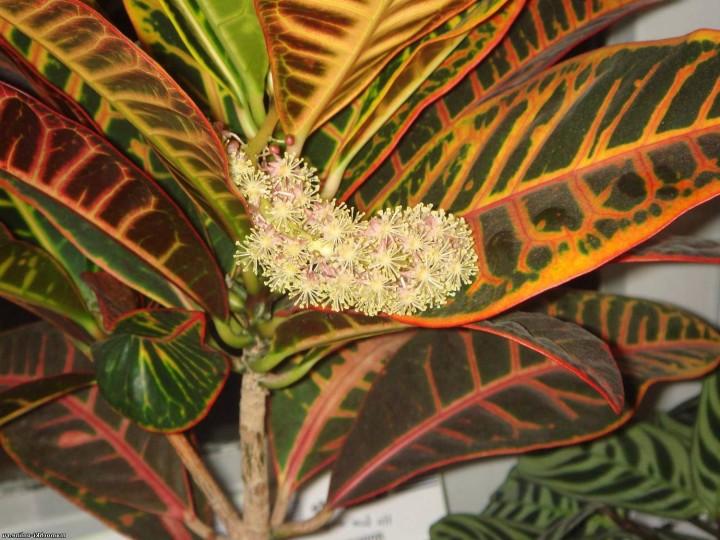 Кротон: размножение черенками или семенами?