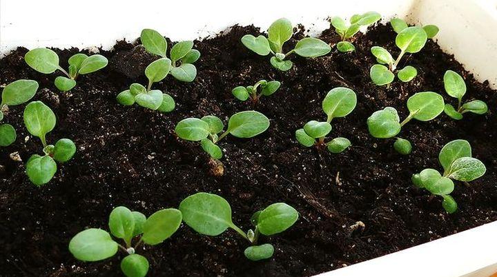 Цинерария: виды, посадка, выращивания и уход