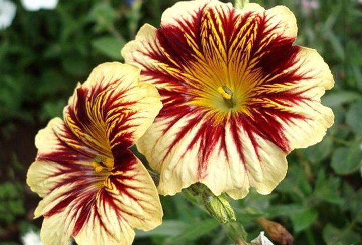 Раннее цветение сальпиглоссиса