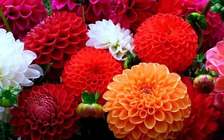 красивые однолетники цветущие все лето фото