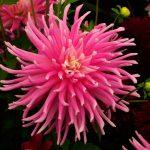 Фото 32: Георгины Cactus group
