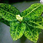 Фото 48: Dieffenbachia maculata reflector