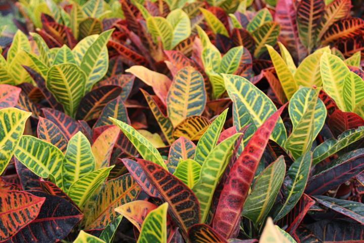 Кротон - красивое растение