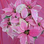Фото 101: Цветок пуансетия фото и уход