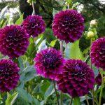 Фото 53: Георгины purple diva