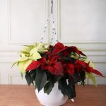 Фото 23: Ампельное выращивание цветка рождественской звезды
