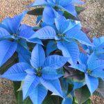 Фото 60: Паунсеттия голубая