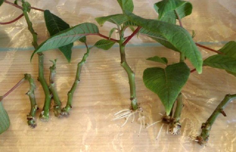 Пуансеттия выращивание из черенка 42