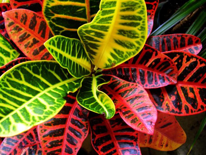 Пестрый кротон - красивое решение для сада