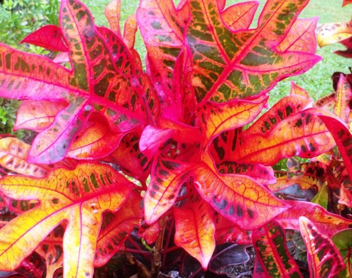 Кротон - растение с яркой расцветкой