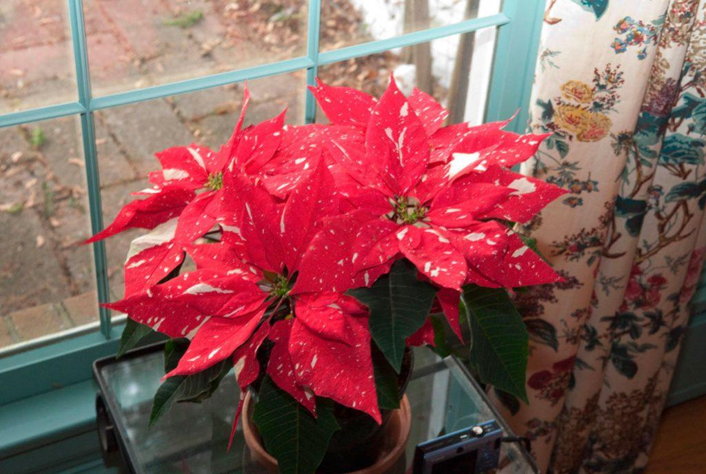 Рождественский цветок пуансетия как ухаживать фото