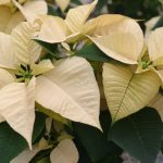 Фото 86: Poinsettia Freedom White