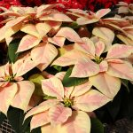 Фото 91: Poinsettia marble shades