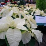 Фото 105: Poinsettia whitestar