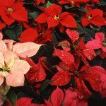 Фото 51: Цветение пуансеттии