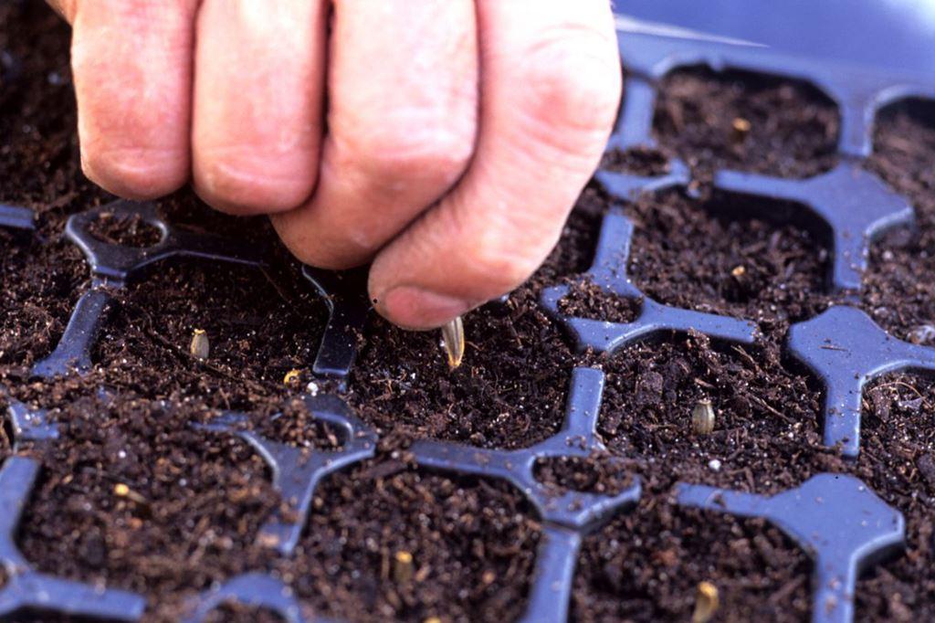 Выращивание георгинов из семян 13