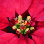 Фото 53: Прицветники пуансеттии
