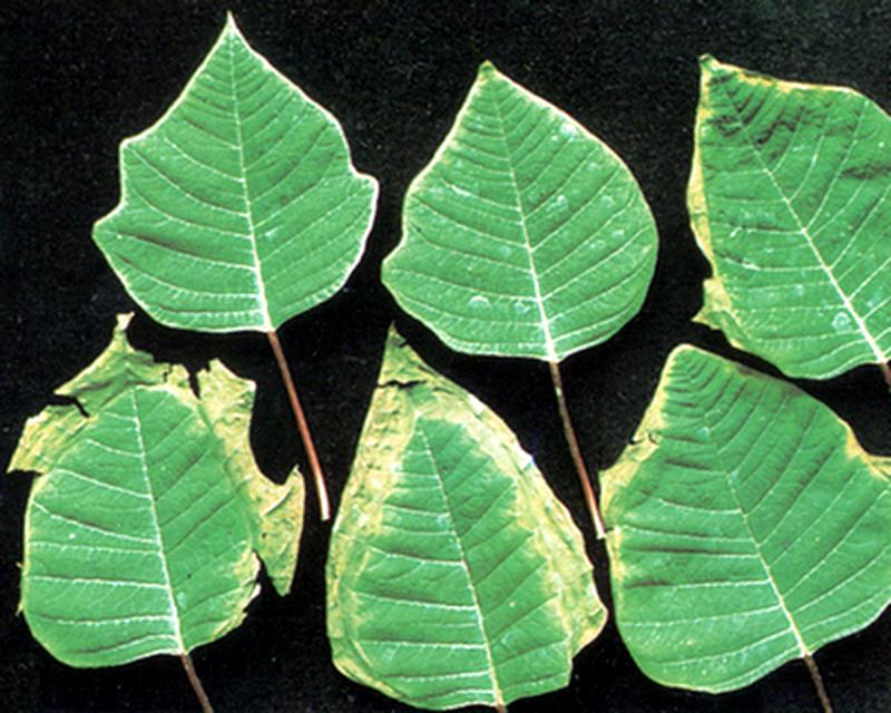 Пожелтение листьев из-за дефицита молибдена