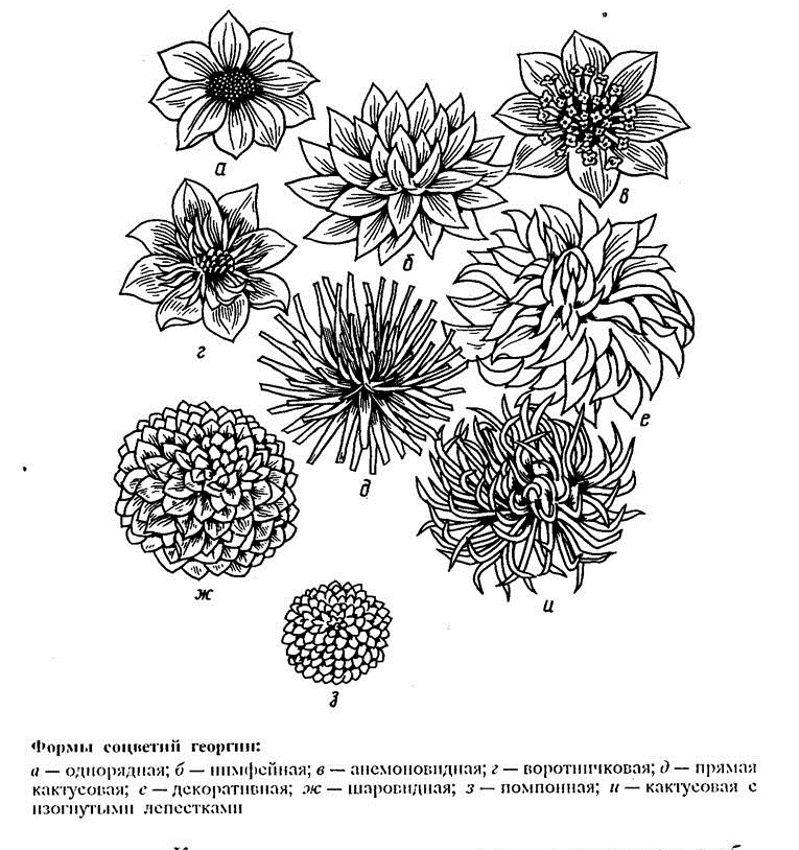 Формы соцветий георгин