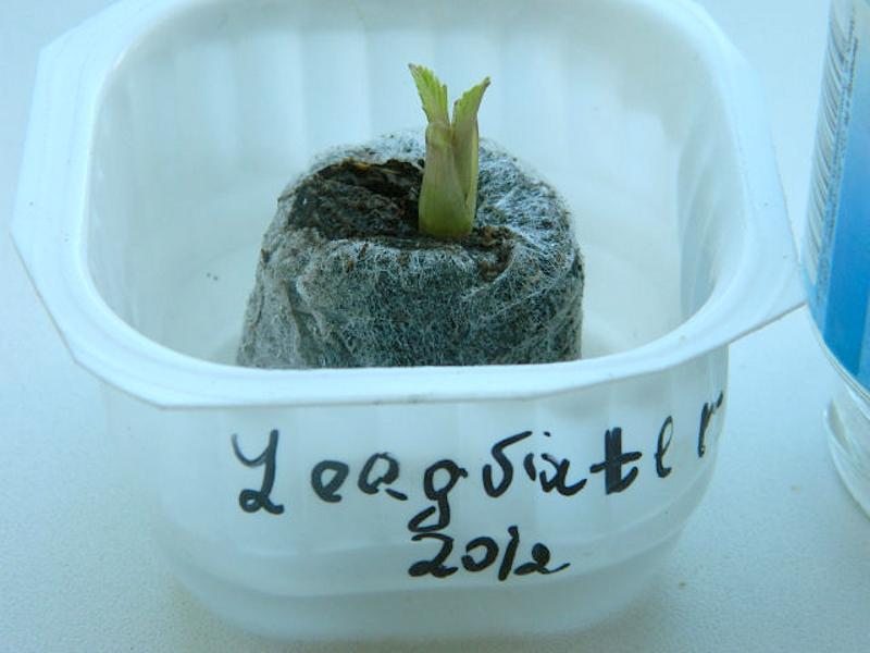 Выращивание черенка