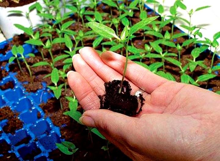 Как выращивать рассаду в торфяных таблетках (3)