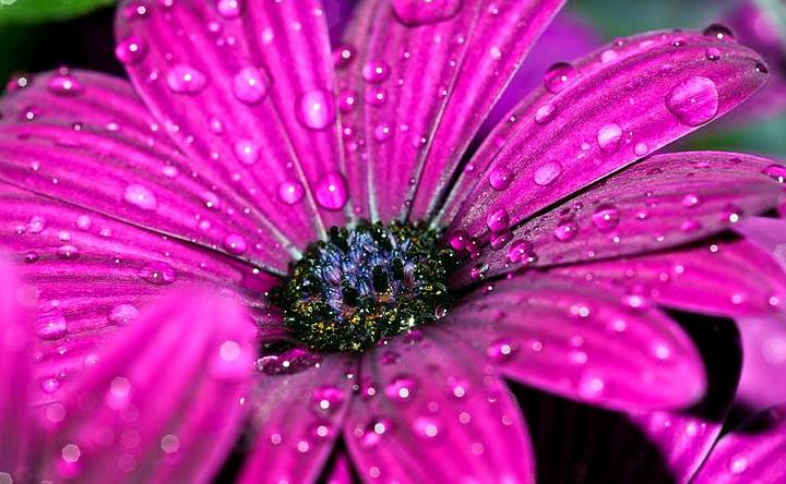 Остеоспермум цветок